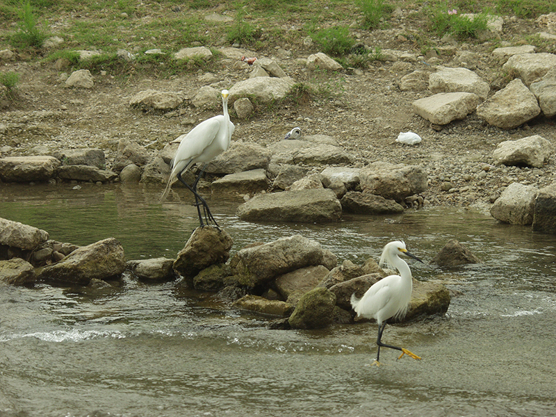 egrets-on-the-san-antonio-river