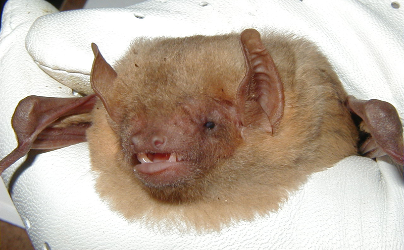 yellow-bat